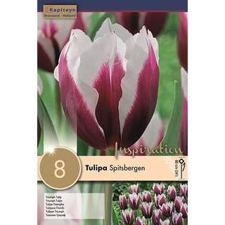 Tulip Spitsbergen x8