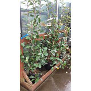 Photinia Red Robin15l 49