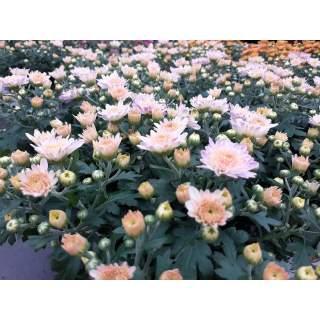 Chrysanthemem (Garden Mum) 12cm