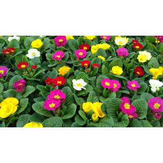 Primrose Mixed Colours