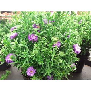 Aster Crown