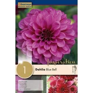 Dahlia Blue Bell