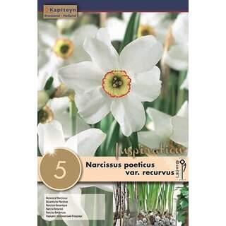 Narcissus Recurvus Pheasant Eye x 5