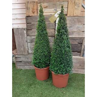 Buxus sempervirens Pyramid 90-100