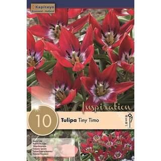 Tulip Tiny Timo x 10