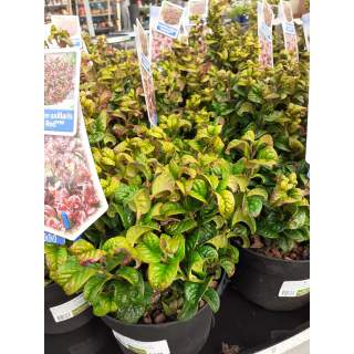 Leucothoe axil. Curly Red