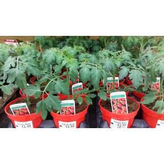 Tomato Plant 12cm