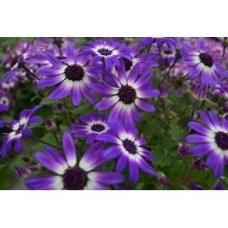 Senetti Irish