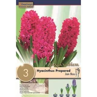Hyacinth Jan Blos EF