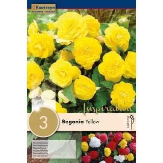 Begonia Non Stop Yellow