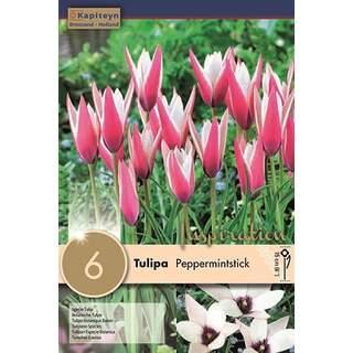 Tulip Pepermintstick x 6
