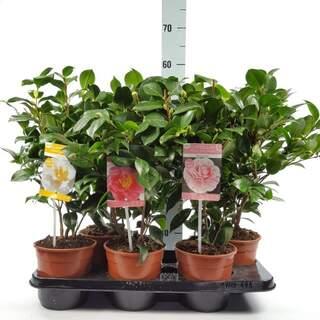 Camellia 1.5l
