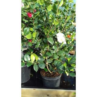 Camelia in variety