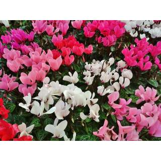 Cyclamen Patio Mix 10.5
