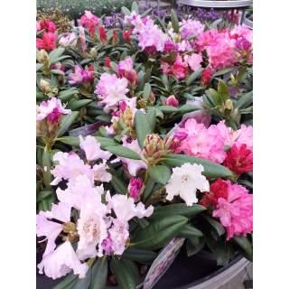 Rhododendron Dwarf  Mix 3 lit