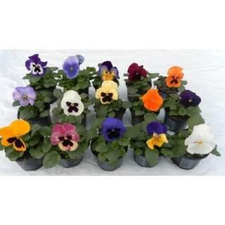 Viola Pot 9cm