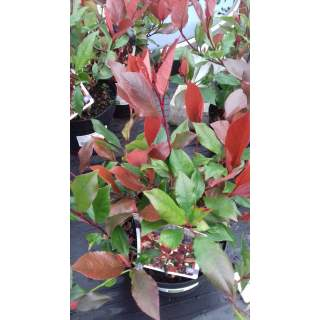 Photinia Little Red Robin 1 lit