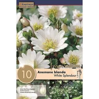 Anemone Bl White splendour