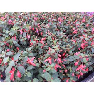 Fuchsia 13cm