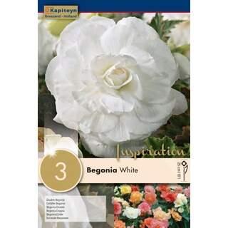 Begonia White Double