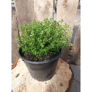 Herb Thyme 1.5l Pot