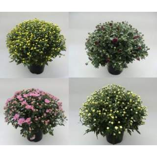 Chrysanth (Garden Mum) 19cm 12.99