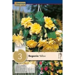 Begonia Pendula Cascade Yellow
