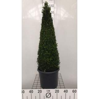 Buxus sempervirens Pyramid 7.5