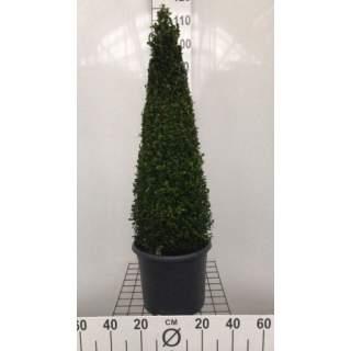 Buxus sempervirens Pyramid 7.5