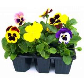 Pansy/Viola Carry Pack