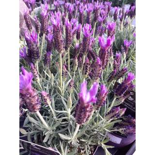 Lavender Stoc.-French