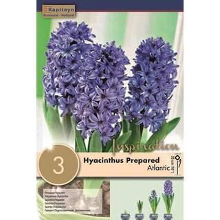 Hyacinth Atlantic EF