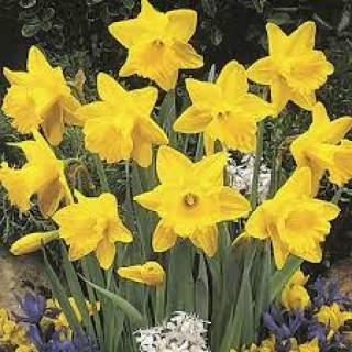 Daffodil 10kg
