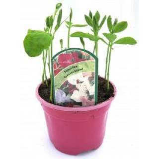 Sweet Pea Pot