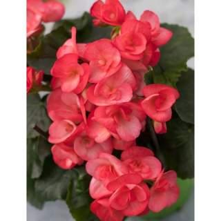 Begonia 13cm