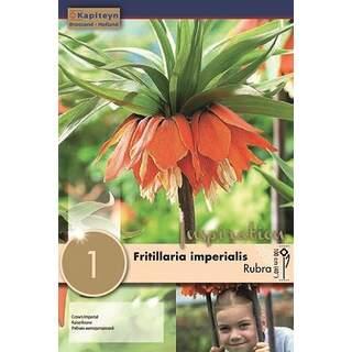 Fritillaria Imp Rubra
