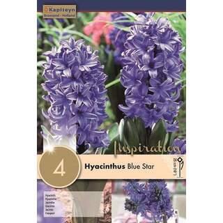 Hyacinth Blue Star x4