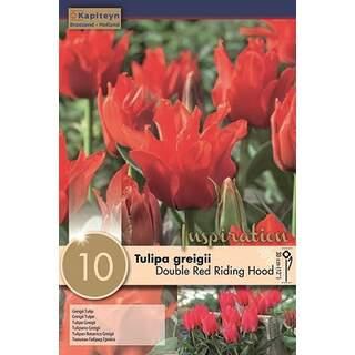 Tulip DoubleRed Riding Hood x10