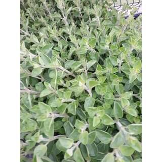 Herbs Oregano14cm Pot
