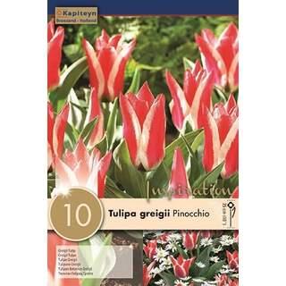 Tulip Pinocchio x10