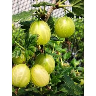 Gooseberry Invicta
