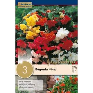 Begonia Pendula Cascade Mix