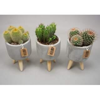 Cactus Mix11cm on legs