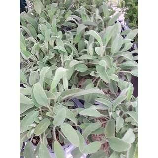 Herbs Sage 1.5l