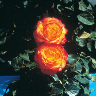 Rose HT Tequila Sunrise