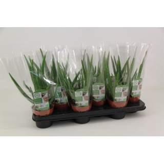 Aloe Vera 10.5