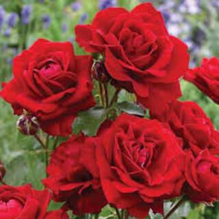 Rose Fl Lili Marlene