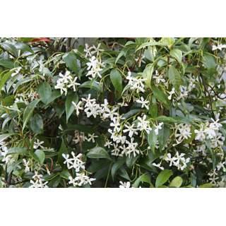 Trachelospermum jas.