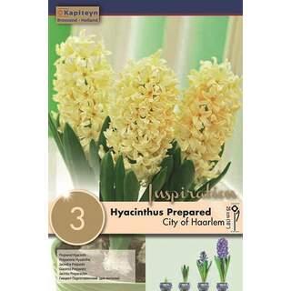 Hyacinth City of Haalem EF