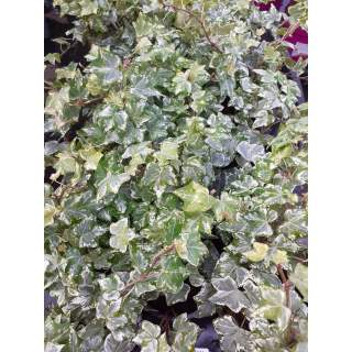 Ivy 13cm